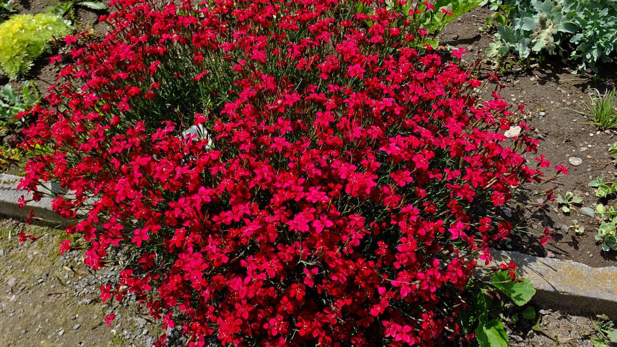Dianthus deltoides (Caryophyllaceae) image 91976 at PhytoImages.siu.edu