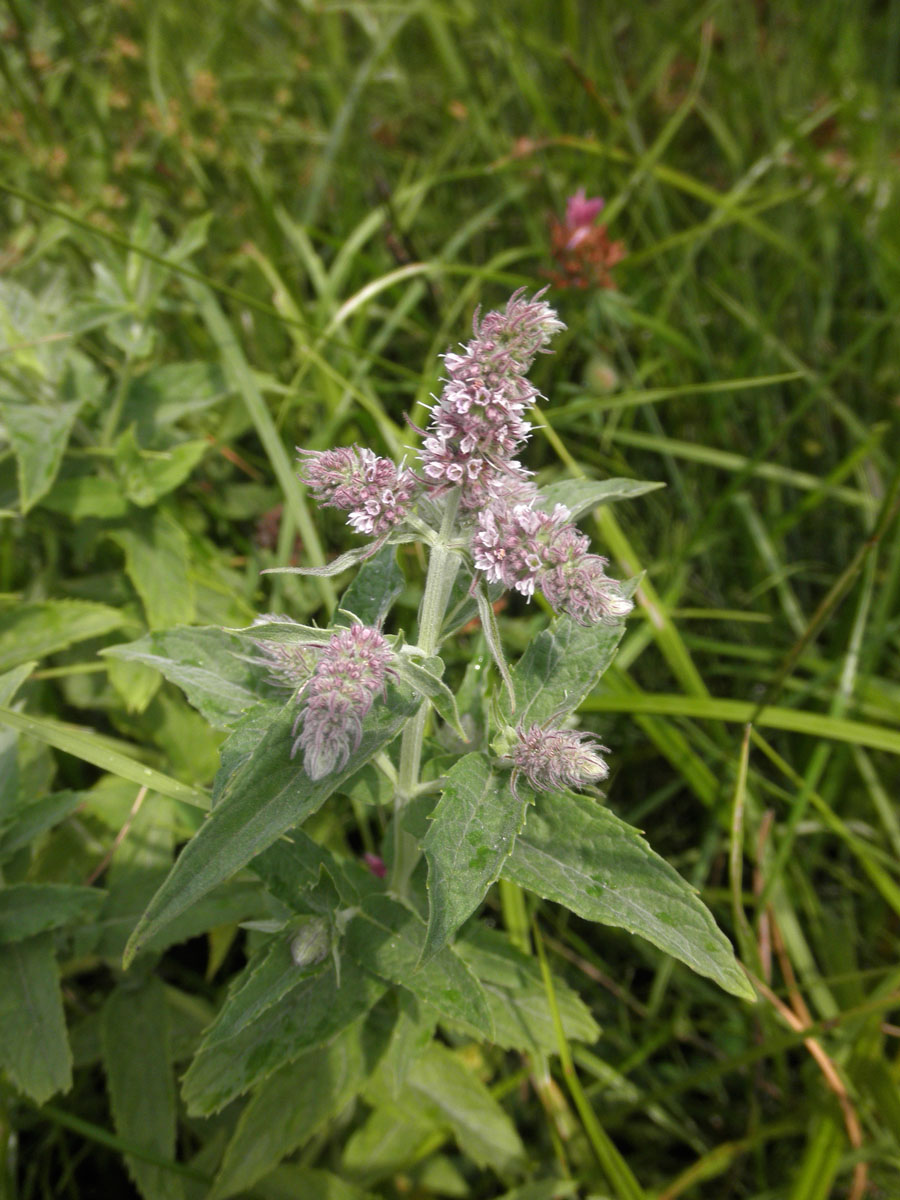 Mentha longifolia (horse mint): Go Botany