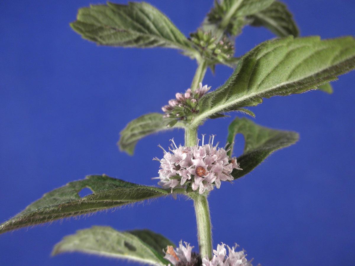 Mentha Arvensis Uses Lamiaceae Mentha Arvensis