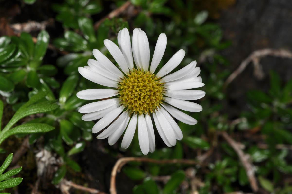 Celmisia sessiliflora (Asteraceae) image 53050 at
