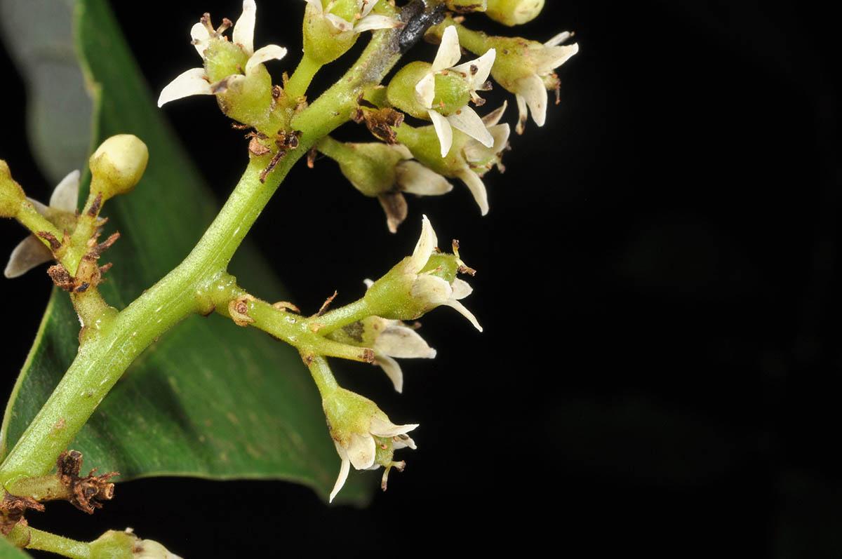 Semecarpus plant3 (Anacardiaceae) image 117114 at
