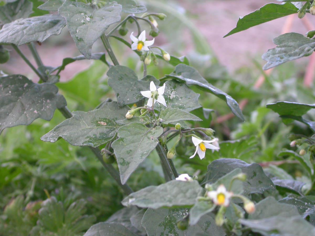 Solanum Nigrum Uses Solanaceae Solanum Nigrum