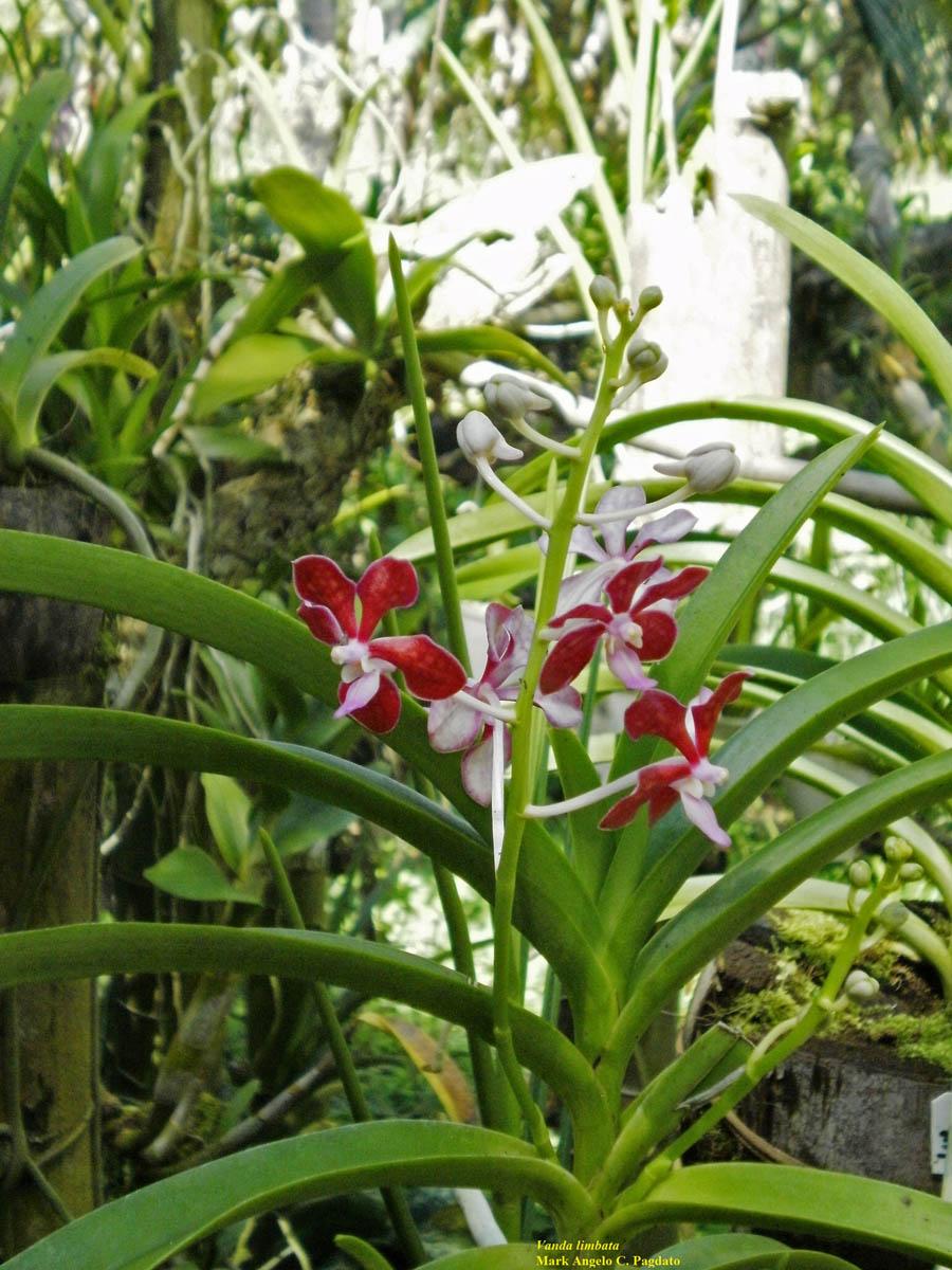Vanda Mariae Orchidaceae Image 52908 At Limbata