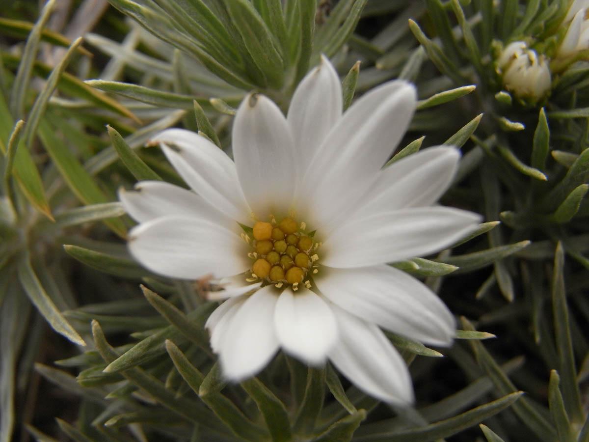 Celmisia sessiliflora (Asteraceae) image 42021 at